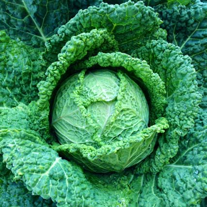 Farm to Fork: Cabbage from Rosy Tomorrows Heritage Farm